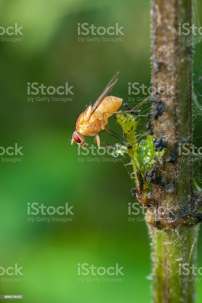 Yellow dung fly on a branch in the forest stock photo
