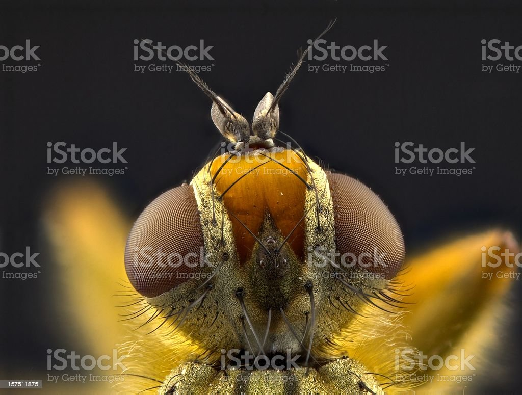 Yellow dung fly (Scatophaga stercoraria) portrait royalty-free stock photo