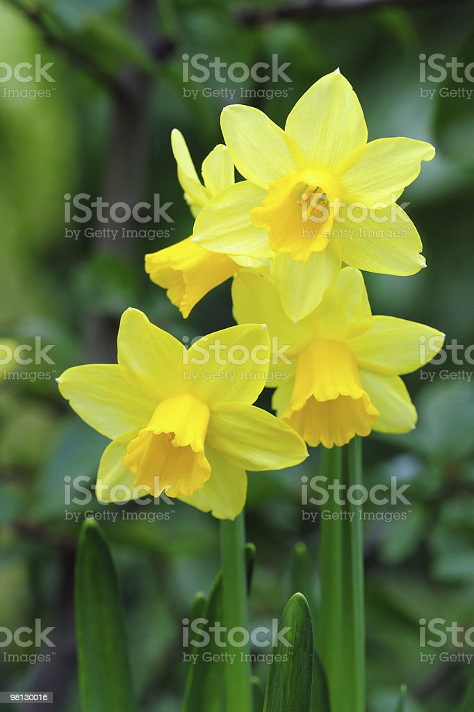 Yellow dwarf trumpet daffodils with tiny white petal tips royalty-free stock photo