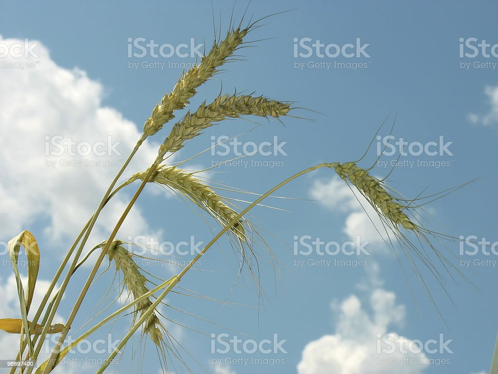 Yellow ears of wheat. royalty-free stock photo
