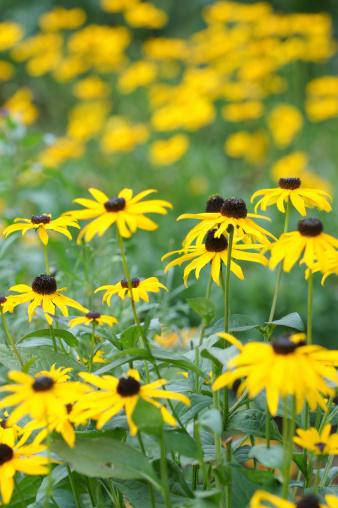 Yellow echinacea and girl eye flowers.