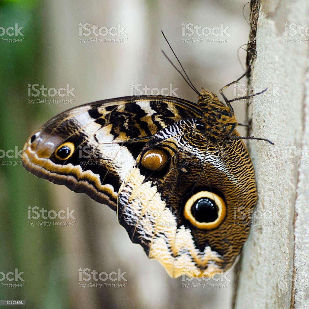 yellow edged giant owl butterfly  Caligo atreu stock photo