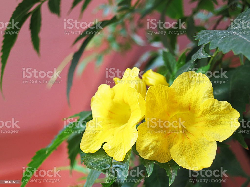 Yellow Elder Flower Stock Photo Istock