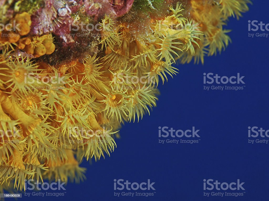 Yellow encrusting anemone, Gelbe Krustenanemone (Parazoanthus axinellae) royalty-free stock photo