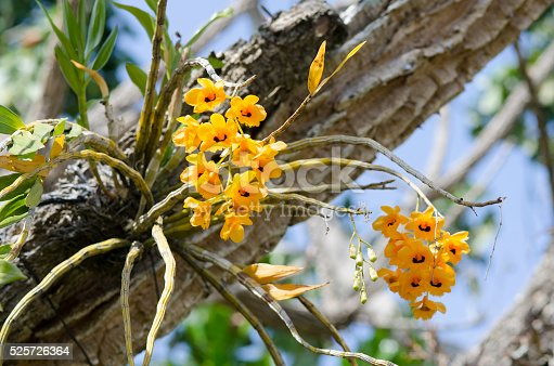 Yellow epiphytic dendrobium orchid growing on tree. Santo Domingo, Heredia, Costa Rica.