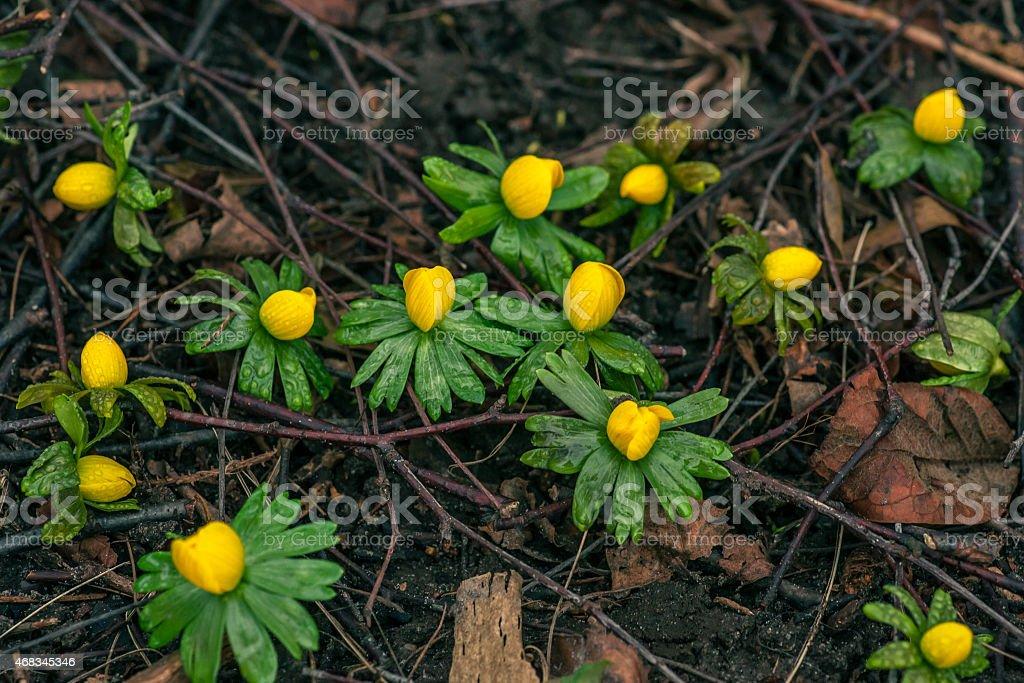Yellow eranthis in a garden royalty-free stock photo