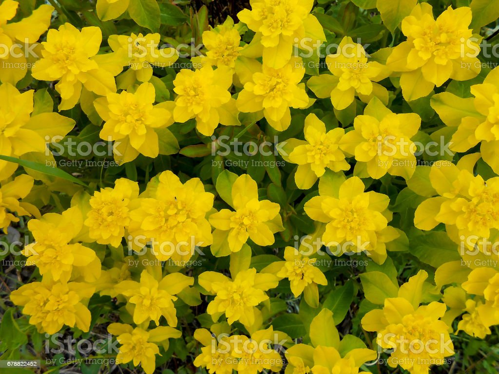 Sarı olan çayır multiflorous royalty-free stock photo