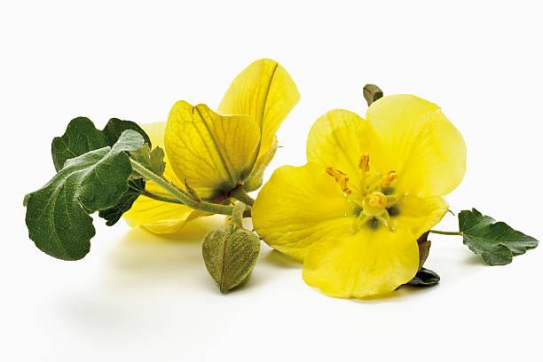 Yellow evening primroses stock photo