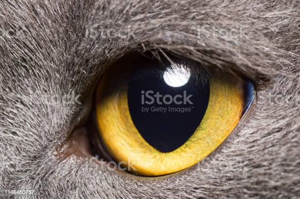Yellow eye of a grey british cat closeup picture id1146450757?b=1&k=6&m=1146450757&s=612x612&h= piwbuukf8xwhb3pzfl9pyqcuaqqfsdkkodifrn0adk=