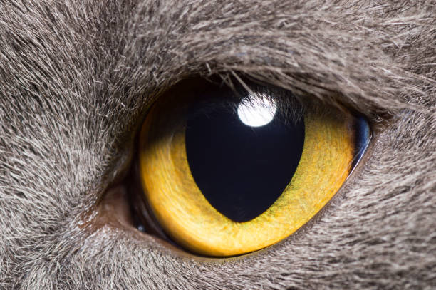 Yellow eye of a grey British cat closeup Yellow eye of a grey British cat animal eye stock pictures, royalty-free photos & images