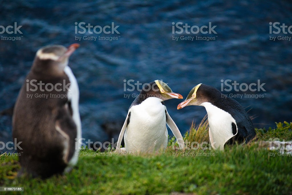 Yellow Eyed Penguins stock photo