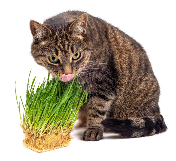 yellow eyed tabby cat eating fresh green oats sprouts close-up isolated on white background with selective focus and blur stock photo