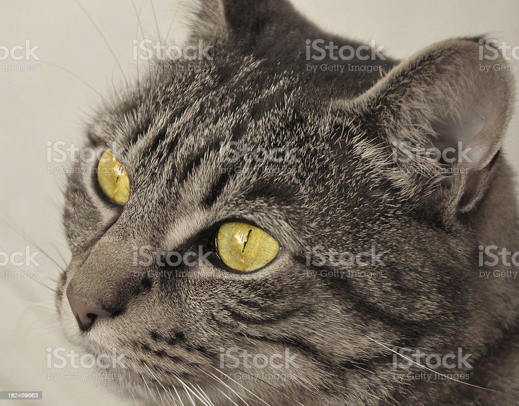 Yellow Eyed Tabby royalty-free stock photo