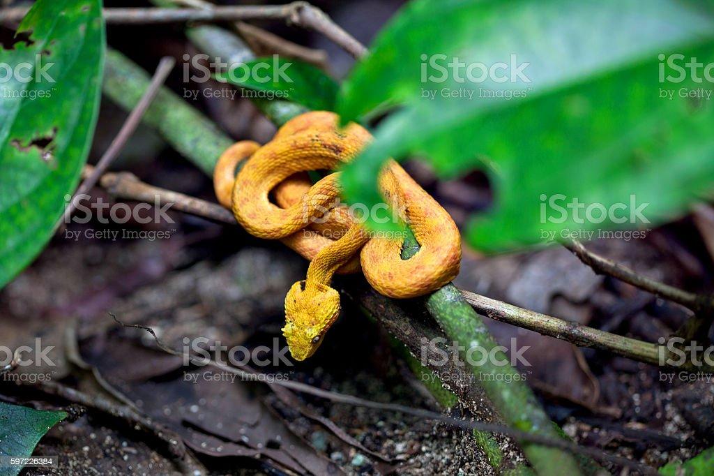 Yellow Eyelash Palm Pit Viper / Bothriechis schlegelii stock photo