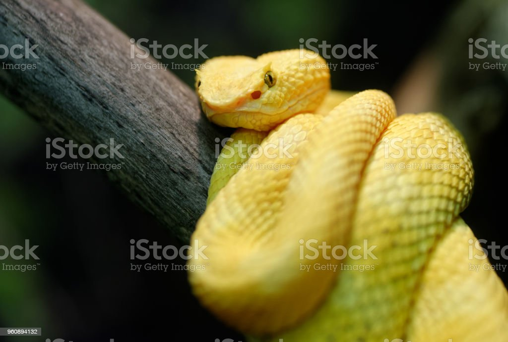 Yellow eyelash viper stock photo