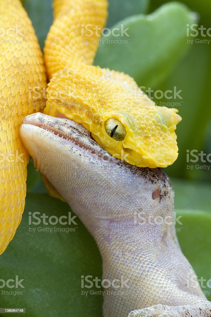 Yellow Eyelash Viper Snake Eating Gecko Lizard royalty-free stock photo