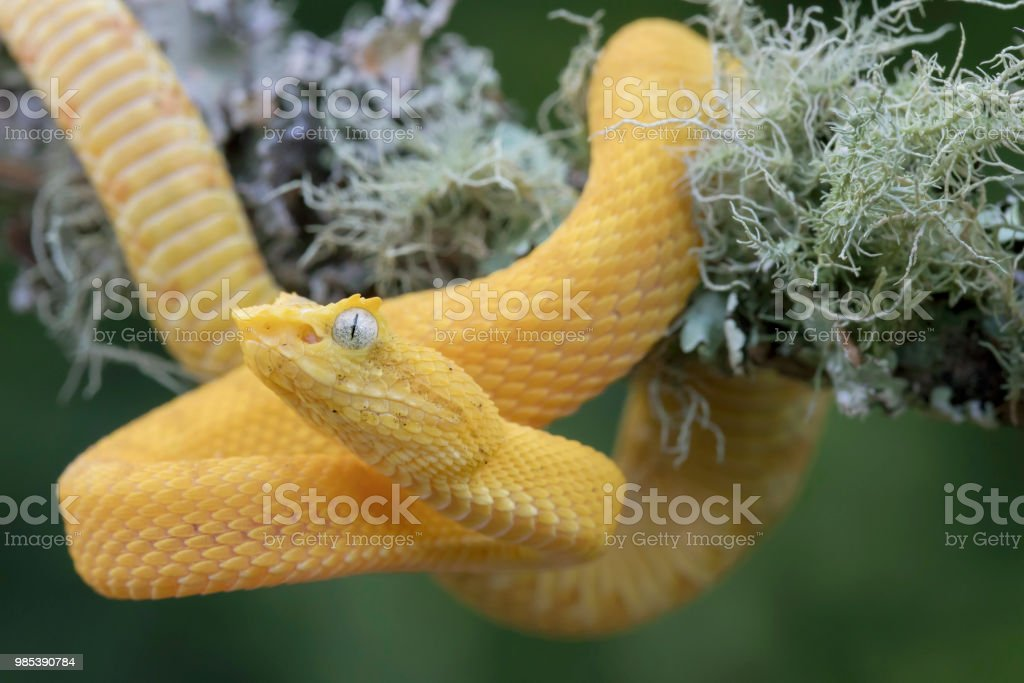 Yellow Eyelash Viper Snake Hanging From Lichen Covered Branch Stock