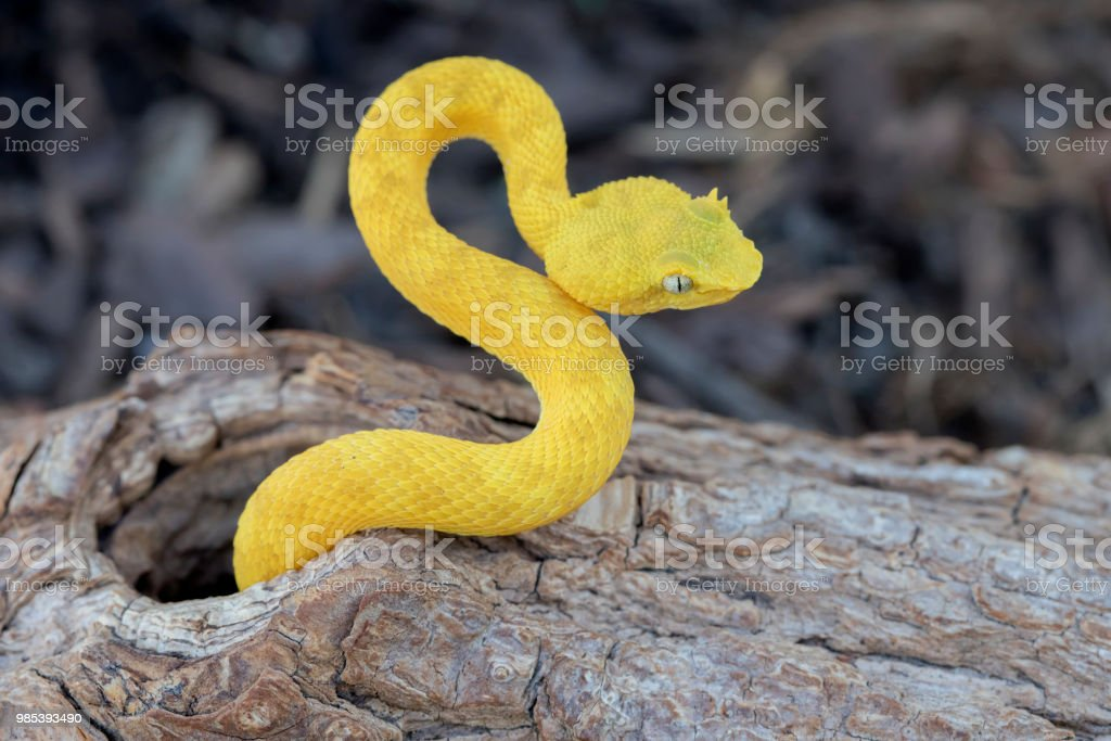 Yellow Eyelash Viper Snake Making An S Shape Stock Photo More