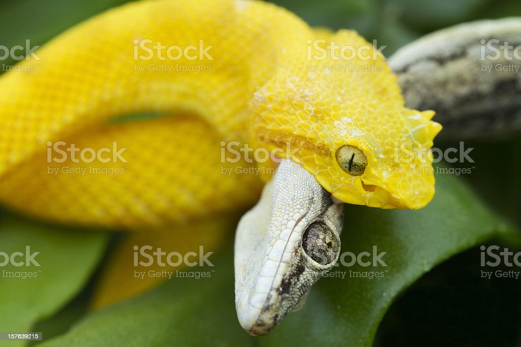 Yellow Eyelash Viper Snake With Gecko Stock Photo More Pictures Of