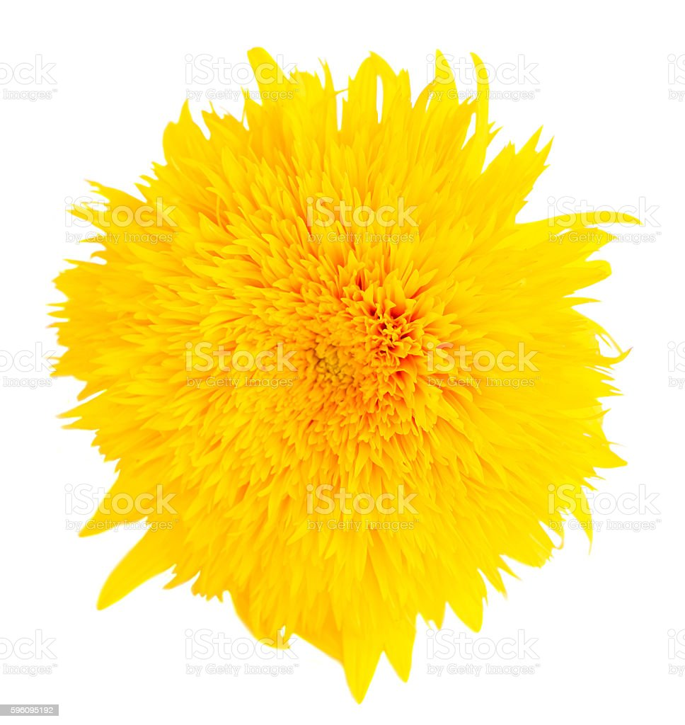 Yellow fall sunflower royalty-free stock photo