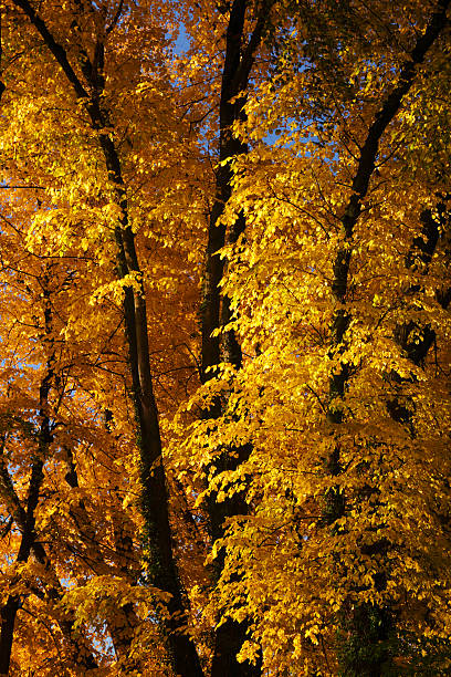 Yellow fall trees stock photo
