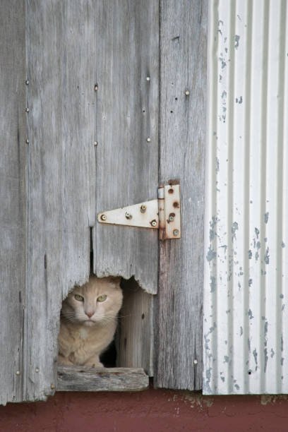 A yellow farm cat peers from the safety of his hiding spot stock photo