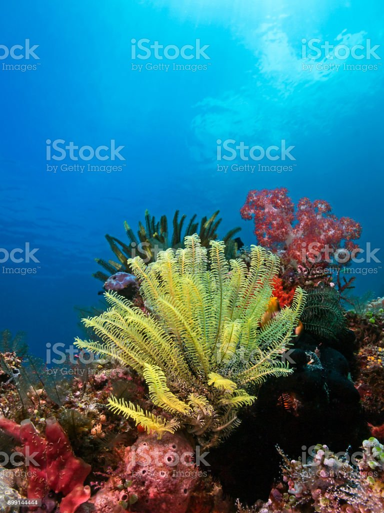 Yellow feather star in the tropical reef stock photo