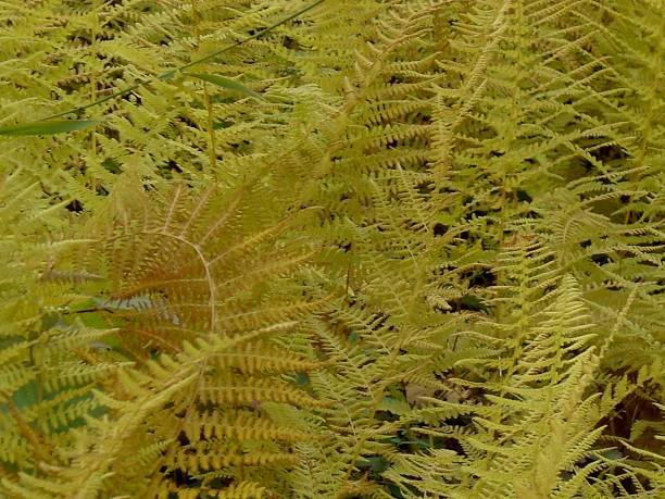Yellow Ferns stock photo