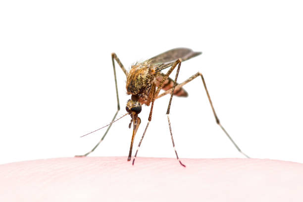yellow fever, malaria or zika virus infected mosquito insect bite isolated on white - mosquito stock photos and pictures