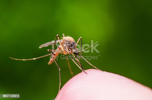 Macro Photo of Yellow Fever, Malaria or Zika Virus Infected Mosquito Insect Bite on Green Background