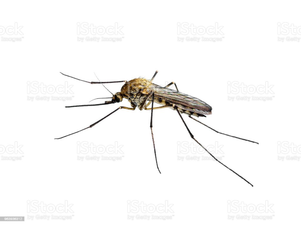 Yellow Fever, Malaria or Zika Virus Infected Mosquito Insect Isolated on White - Royalty-free Aedes Aegypti Stock Photo