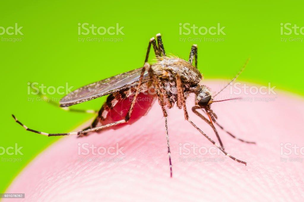 Gelbfieber Malaria Oder Zikavirus Infizierten Mücke Insekten Makro ...