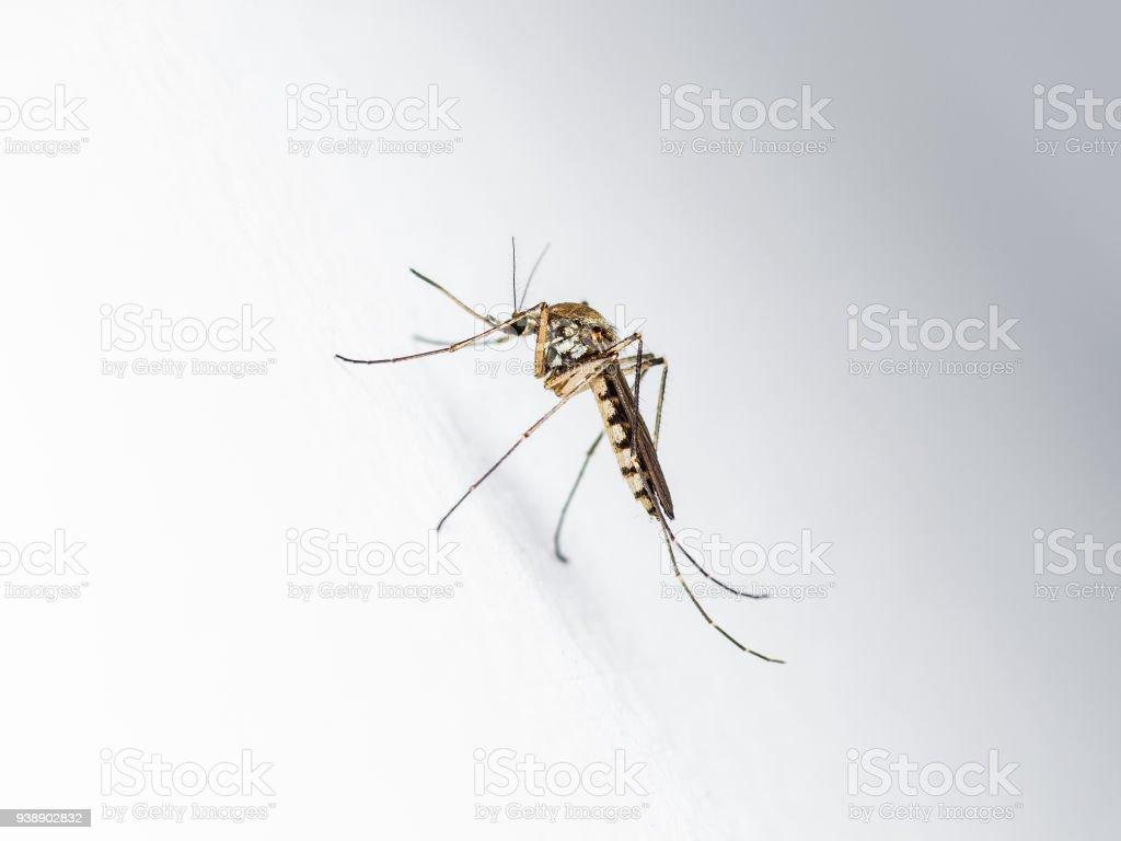 Gelbfieber Malaria Oder Zikavirus Infizierten Mücke Insekten Auf ...