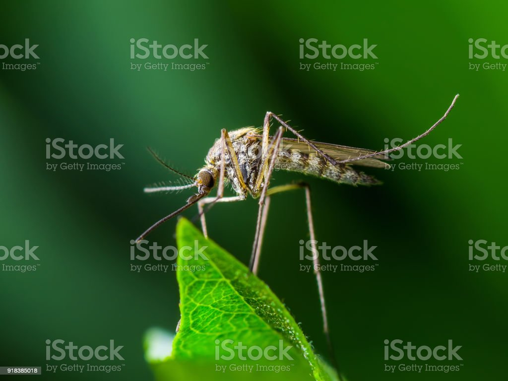 Yellow Fever, Malaria or Zika Virus Infection - Mosquito Insect on Leaf stock photo