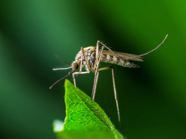 yellow fever, malaria or zika virus infection - mosquito insect on leaf - mosquito stock photos and pictures