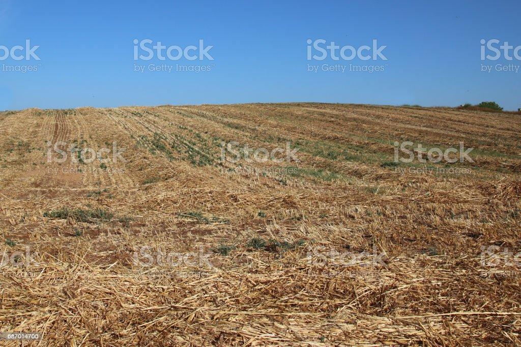 yellow field after harvest Lizenzfreies stock-foto