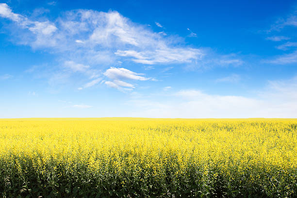 Yellow Field Against Blue Cloudy Sky With Copy Space Rows of yellow canola field in Alberta against a blue sky with copy space. canola stock pictures, royalty-free photos & images