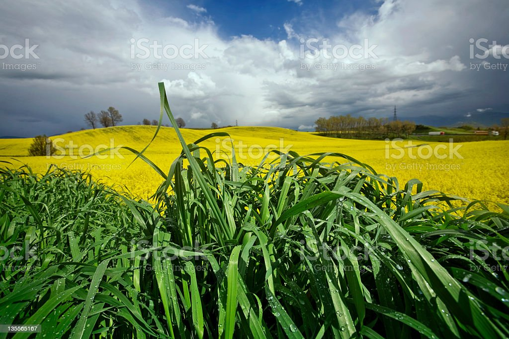 Yellow Field and Bad Weather royalty-free stock photo