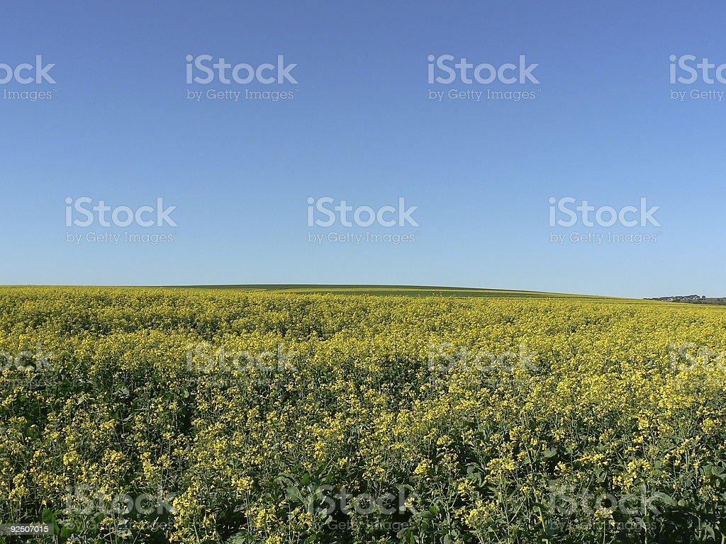 Yellow field, blue sky royalty-free stock photo