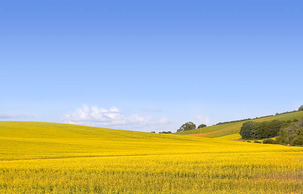 Yellow field of canola stock photo