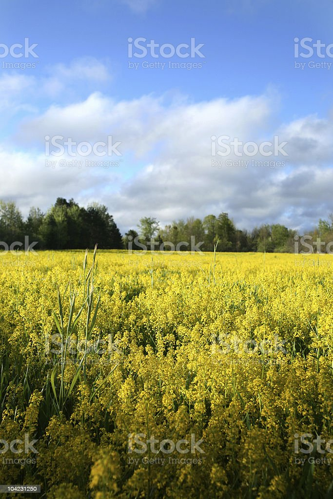 Yellow Field of Flowers royalty-free stock photo