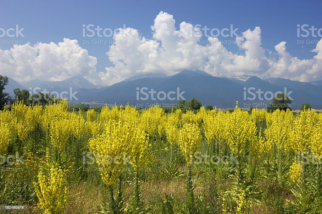 Yellow field of Mullein with Pirin Mountains royalty-free stock photo