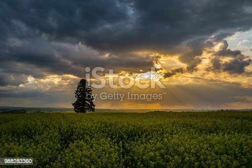 Yellow field of rape in full flower with dramatic sky