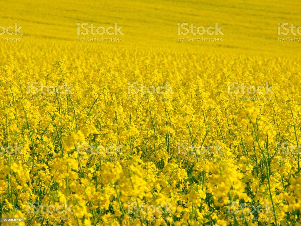 Yellow field of rape plant canola stock photo