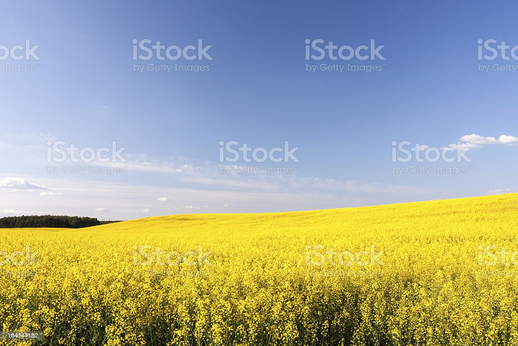 Yellow field of rapeseed royalty-free stock photo