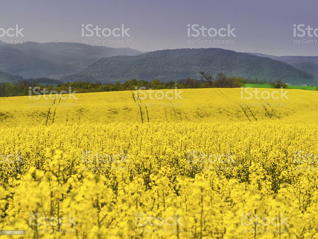 Yellow field royalty-free stock photo