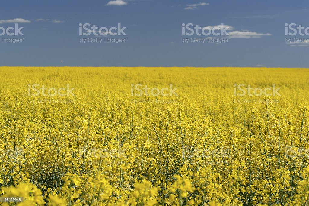 Giallo campo foto stock royalty-free
