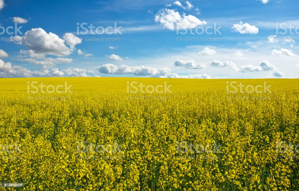 Yellow field rapeseed in bloom and blue cloudy sky stock photo