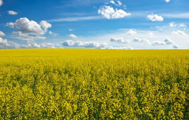 gelbes feld raps in voller blüte und blau bewölktem himmel - rübsen stock-fotos und bilder
