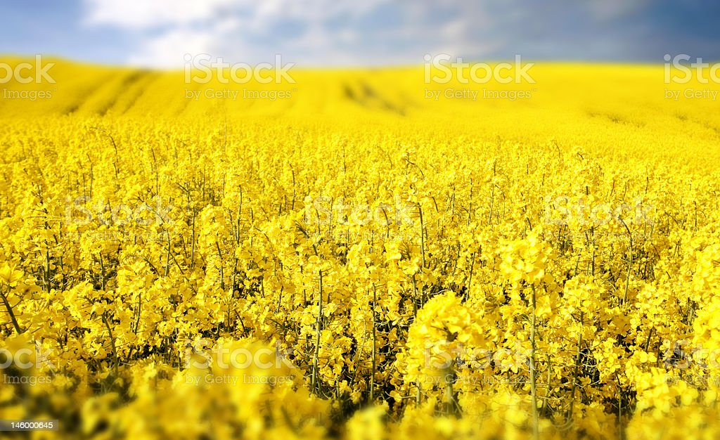 yellow field with oil seed rape in early spring royalty-free stock photo